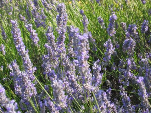 Lavender on Island of Hvar | Villa Liza